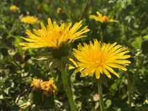A pair of dandelions. This photo shows a pair of dandelions Royalty Free Stock Photos
