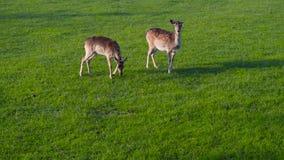 Pair of dee walking looking grean meadow. Pasture close stock footage