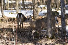 Pair of deer in Awenda Provincial Park Royalty Free Stock Photo