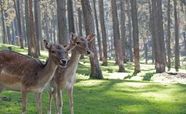 Pair of deer in forest stock images