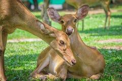 Pair of deer. Stock Photo