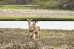 Pair of deer Royalty Free Stock Image