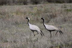 Pair of Demoiselle Cranes Stock Photo