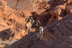 Pair of Desert Bighorn Rams Stock Photography