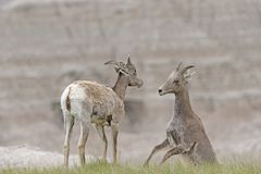 A Pair of Desert Bighorn Sheep Playing in the Badlands Stock Image