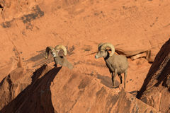 Pair of Desert Bighorn Sheep Rams. A nice pair of desert bighorn sheep rams in Nevada Stock Images