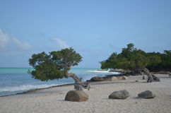 Pair of Divi Divi Trees on Eagle Beach Royalty Free Stock Photography