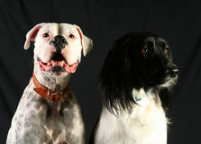 Pair of Dogs Royalty Free Stock Image