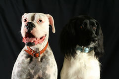 Pair of Dogs Stock Photo