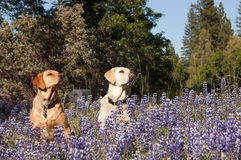 Pair of dogs in the flowers Stock Image