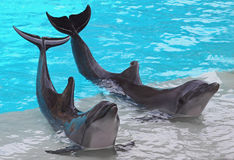 A Pair of Dolphins Stock Photography