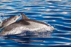 Pair of Dolphins Stock Photo