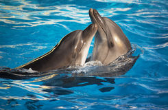 Pair of dolphins dancing Royalty Free Stock Photography