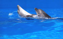 Pair of dolphins. Dancing in blue water Royalty Free Stock Image