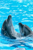Pair of dolphins dancing in light-blue water Stock Images