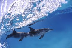 Pair of Dolphins Swimming beneath Waves in Bahamas. Pair of Dolphins Swimming beneath Waves in Bimini, Bahamas Royalty Free Stock Photo