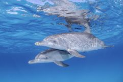 Pair of Dolphins Swimming Together through Clear Waters of Bahamas. Pair of Dolphins Swimming Together through Clear Waters of Bimini, Bahamas Stock Image