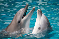Pair of dolphins in water Royalty Free Stock Photo