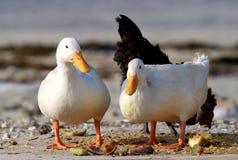 Pair of domestic ducks Stock Photos