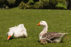 Pair of domestic geese with gosling Royalty Free Stock Photos