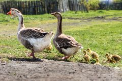 A pair of domestic geese with goslings for a walk royalty free stock images