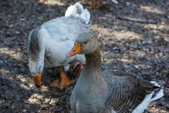 A pair of domestic geese outdoors. Geese who live in enclosures on the territory of the аgrarian аcademy royalty free stock photo