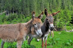 Pair of donkeys on the high mountains Royalty Free Stock Images