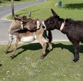 Pair of Donkeys in New Forest England fighting Stock Images