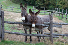 Pair of donkeys. Observe the photographer Stock Photography
