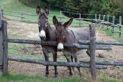 Pair of donkeys Stock Photography