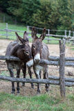 Pair of donkeys. Observe the photographer Stock Image