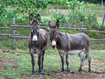 Pair of donkeys. Observe the photographer Royalty Free Stock Photos