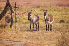 Pair of miniature donkeys. Portrait of two male jackass miniature donkeys behind a barbed wire fence in Autumn Royalty Free Stock Images