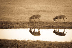 Pair of donkeys reflection Royalty Free Stock Photo