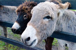 A pair of donkeys Stock Image