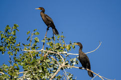 Pair of Double-Crested Cormorants Perched High in a Tree Royalty Free Stock Images