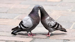 Pair of dove Royalty Free Stock Photo
