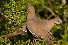 Pair of doves. A pair of white-winged doves perched in a spiny hackberry.  White-winged doves occur in the southwestern United States and adjacent northern Royalty Free Stock Images