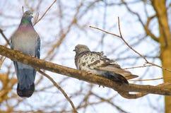 Pair of doves on a branch. Pair of doves on a branch royalty free stock image