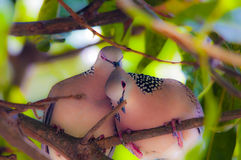 Pair of Doves. Dreamy, soft-focus image of a pair of wild spotted doves. All lovey-dovey in pink Stock Photography