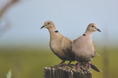 Pair of Doves Stock Images