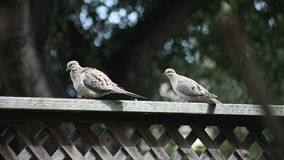 Pair of doves on a fence. Two doves preen, stretch and rest on a backyard fence stock video