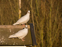 Pair of doves on roof Royalty Free Stock Images