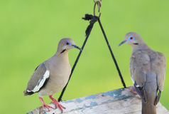 Pair of Doves Royalty Free Stock Photo