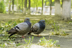 Pair of doves standing on the ground, two doves stock image