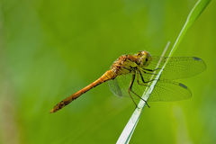 Pair of dragonflies Stock Photography
