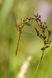 Pair of dragonflies. Side view of a pair of mating dragonflies on a plant stem with a green background Royalty Free Stock Photos