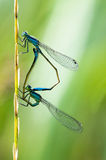 Pair of dragonflies. Side view of a pair of mating dragonflies on a plant stem with a green background Stock Images
