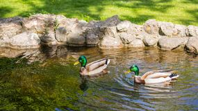 A pair of drakes floats in a pond on a sunny day. stock photo