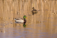 Pair duck mallard on autumn lake water and first ice Royalty Free Stock Photography